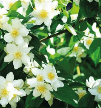 jardin toscaanse jasmijn